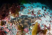 Banded Guitarfish, Zapteryx exasperata, a type of shark, San Benito Island, Baja California, Mexico