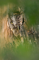 Eastern Screech-Owl, Megascops asio, adult in nest hole, Willacy County, Rio Grande Valley, Texas, USA, June 2006