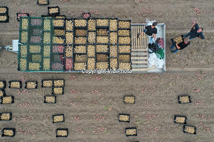 Foto: VidiPhoto<br /> <br /> RANDWIJK – Door medewerkers van het Bioimpuls-project worden maandag op een akker in Randwijk in de Betuwe 360 verschillende soorten biologische aardappels gerooid en in aparte kisten verzameld. Over zo'n tien jaar moet een nieuwe generatie smakelijke, duurzaam phytophthora-vrije biologische aardappelen in de schappen van de supermarkten liggen. De huidige generatie phytophthora resistente piepers hebben al die eigenschappen nog onvoldoende en hun phytophthora resistentie is nog slechts gebaseerd op 1 resistentiegen. De nieuwe superpiepers krijgen meerdere resistentiegenen ingekruisd en zullen daardoor een duurzamere vorm van phytophthora-resistentie bevatten. Nederland loopt voorop met de ontwikkeling van duurzame aardappelrassen. Hiermee kan een reductie van 50 procent aan gewasbestrijdingsmiddelen bereikt worden. Phytophthora neemt namelijk de helft van al het chemische middelengebruik in de landbouw in beslag. Het gaat hier om een gezamenlijk project van Wageningen Universiteit & Research, Louis Bolk Instituut, aardappel handelshuizen en aardappelkwekers.