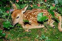 Fawn of white-tailed deer, Odocoileus virginianus, hiding in forest garden edge waiting for her mother to return from foraging