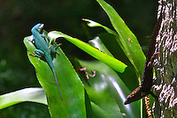 A green anole and a brown anole regard each other from afar, Daytona Beach, FL . (Photo by Brian Cleary / www.bcpix.com)