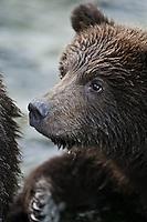 A photo of a coastal grizzly cub. Grizzly Bear or brown bear alaska Alaska Brown bears also known as Costal Grizzlies or grizzly bears Grizzly Bear Photos, Alaska Brown Bear with cubs. Purchase grizzly bear fine art limited edition prints here Grizzly Bear Photo Bear Photos,