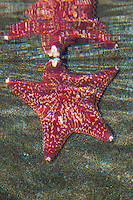 Kurzarmiger Kissenstern, Kurzarmiger Seestern, Karminroter Kissenstern, Seestern, Porania pulvillus, Red Cushion Star, Red cushion, sea star, seastar, sea-star, Starfish