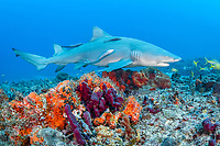 lemon shark, Negaprion brevirostris, with remora, sharksucker, swimming over coral reef, Juno Beach, Florida, USA, Atlantic Ocean
