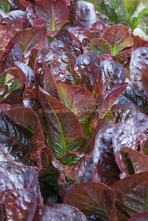 Red leaf lettuces Recoba growing romaine lettuce
