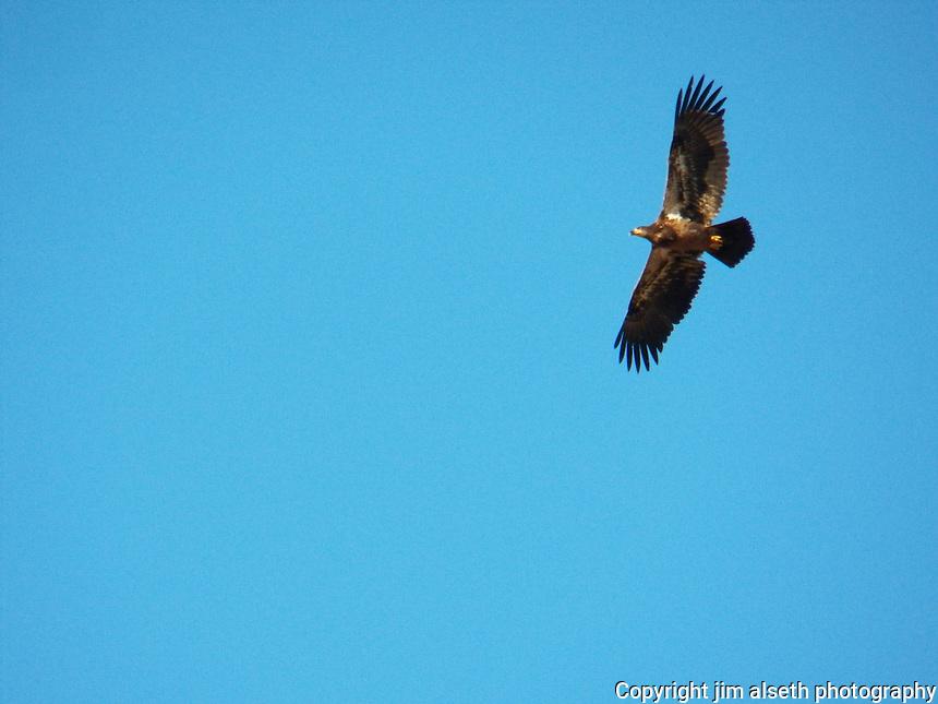 Golden Eagle patrols in the fall air over Big Lake, Alberta.