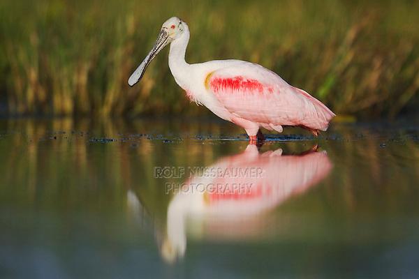 Roseate Spoonbill (Ajaia ajaja), adult, Sinton, Corpus Christi, Coastal Bend, Texas, USA