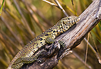 Water Monitor Lizard, Shire River, Liwonde NP, Malawi