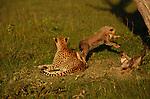 Cheetah, Mara River region, Kenya