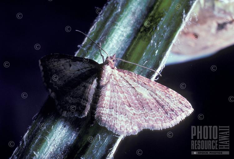 native moth of Killer Caterpillar Eupithecia sp.