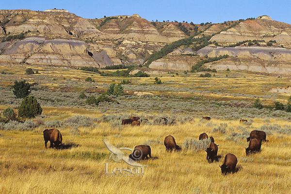 "American Bison herd in ""badlands"" of Theodore Roosevelt National Park, North Dakota.  Late Summer."
