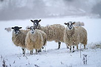 Sheep feeding in snow -  Rutland, February