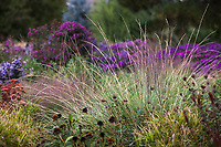 Festuca mairei, Atlas Fescue grass in Colorado prairie meadow garden; Scripter garden, design Lauren Springer Ogden