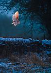 UK photographer captures barn owl in golden light by Bradley Hamer