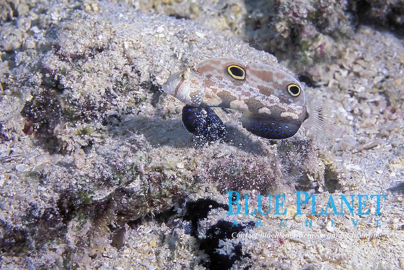 twin spot goby, Signigobius biocellatus, PNG