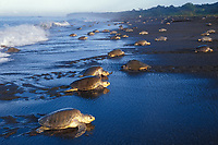 olive ridley sea turtle, Lepidochelys olivacea, females, coming ashore to nest during arribada - mass nesting, Ostional, Costa Rica, Pacific Ocean