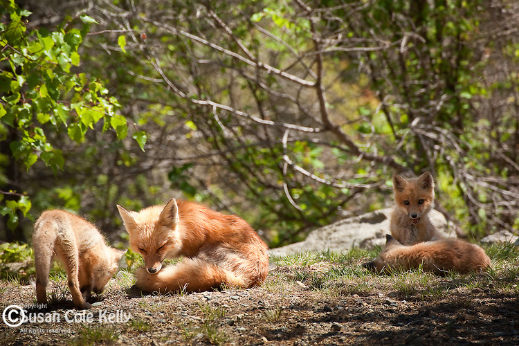 Family of Red foxes on the Schoodic Peninsula, Hancock County, ME, USA
