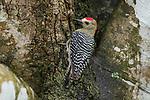 Red-crowned woodpecker (Melanerpes rubricapillus), Hato La Aurora Reserve, Los Llanos, Colombia, South America.