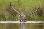 An osprey swoops down and plucks a large fish from a pond.  The bird of prey hovered above the water before locating a rainbow trout just below the surface.<br /> <br /> It then folds up its wings and dives down with enough momentum to capture the fish.  The images were captured by amateur photographer Paul Masterton in the wilds of the Cairngorms National Park in Scotland.  SEE OUR COPY FOR DETAILS.<br /> <br /> Please byline: Paul Masterton/Solent News<br /> <br /> © Paul Masterton/Solent News & Photo Agency<br /> UK +44 (0) 2380 458800