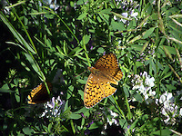 Fritillary butterflies nestling in the foliage of Cold Lake Provincial Park, Alberta.