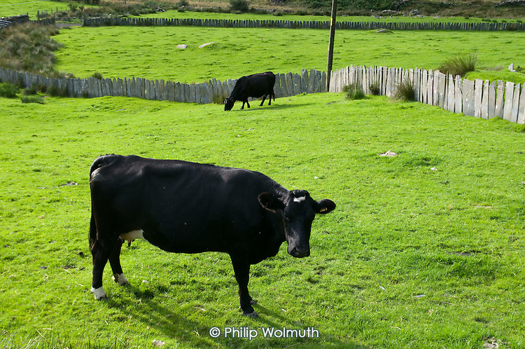 Welsh Black cattle grazing in a field in the Croesor Valley, Snowdonia National Park.