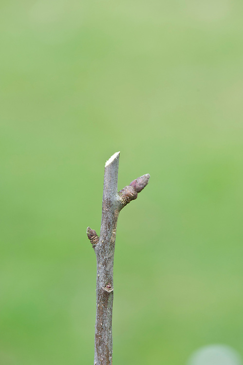 Cut too far away and the stub left above the bud will die back and may become infected with disease.