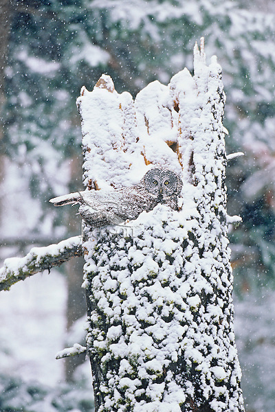 Great Gray Owl (Strix nebulosa) incubating (sitting on) eggs in nest on top of broken tree snag.  May.  Snowstorm. Northern Rockies.