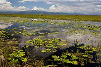 Wocus (Native American name for Rocky Mountain Pond Lilies/Yellow Pond Lilies) in Klamath Marsh National Wildlife Refuge, Mount Scott, Oregon.  Sunrise.