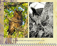 """February of the 2014 Birds of a Feather Calendar. Photos is called """"Wise Old Owl"""" and """"Great Horned Owl Peek-a-boo"""".  A Great Horned Owl (Bubo virginianus) is sitting on a tree branch with the setting sun shining on him and yellow eyes looking at viewer in the Ridgefield National Wildlife Refuge."""