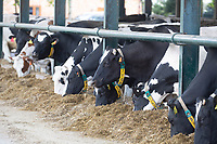 7.5.2021 Dairy cows eating ration <br /> ©Tim Scrivener Photographer 07850 303986<br />      ....Covering Agriculture In The UK....