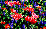 Hyacinth and Tulips decorate the garden in spring.