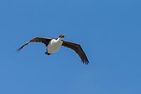 Macquarie Shag (Phalacrocorax purpurascens), juvenile in flight near Macquarie Island Station, Macquarie Island, Australia.