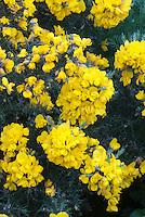 Ulex europaeus 'Flore Pleno' (Gorse) AGM yellow flowers