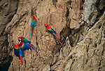 Scarlet & green-winged macaws on lick, Tambopata River region, Peru