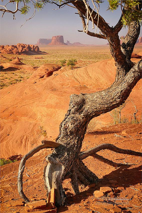 Piñon Pine, Monument Valley, Arizona