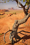 Piñon Pine, Monument Valley, Arizona