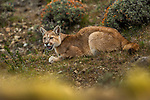 Mountain Lion (Puma concolor) six month old female calling, Torres del Paine National Park, Patagonia, Chile