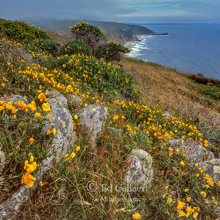 Poppies, Eschscholzia californica, Tomales Point, Point Reyes National Seashore, Marin County, California