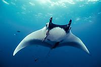 Manta ray, Isla San Benedicto, Manta birostris, Mexico, East Pacific Ocean