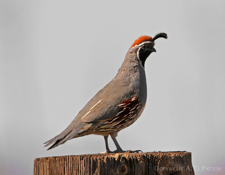 Adult male Gambel's quail