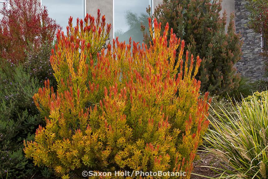 Leucadendron salignum 'Chief' Australian colorful foliage shrub in Southern California garden