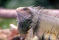 ISLA GORGONA- COLOMBIA-21-08-2000 . La iguana, iguana verde o teyú (Iguana iguana) es un gran lagarto de América Central y de Sudamérica  The iguana, green iguana or Teyú (Iguana iguana) is a large arboreal lizard from Central and South America (Photo::Luis Ramirez).