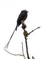 Long-tailed tyrant
