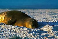 Endangered Hawaiian monk seal (monachus schauinlandi) on beach, Kure atoll, Northwestern Hawaiian islands