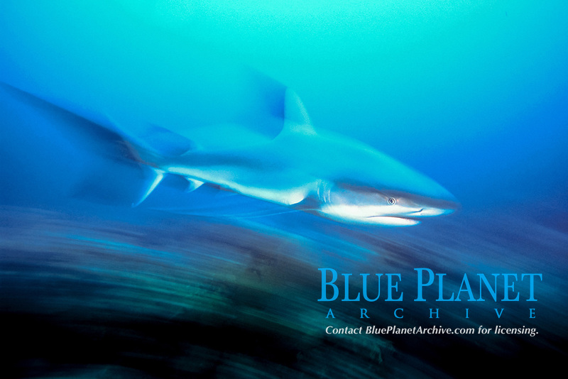 motion blur, motion-blurred image of Caribbean reef shark, Carcharhinus perezii, Bahamas, Caribbean Sea, Atlantic Ocean