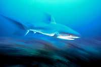 motion blur, motion-blurred image of Caribbean reef shark, Carcharhinus perezii, Bahamas, Caribbean Sea, Atlantic Ocean
