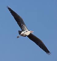 Grey herons look very similar to our North American great blue herons.
