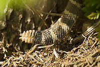 Tail of Northern Pacific rattlesnake, Crotalus viridis oreganus, Mount Diablo State Park, California