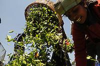Tea Worker in Nuwara Eliya Sri Lanka, to tea leaf collecting for tea farmers and digestion.(Photo.:Stefan Nobel-Heise)......Tea, tea, bush,nature, Natur, Landwirtschaft  Hochland Sri Lanka Teeplantage, Tea Ground, diggest, colection,gathering, Mountains Woman, Worker, Field,Sommer, Travel, reisen, Buisne tea affair, indian ocean, ..Subtropen, ......Sri Lanka plant 2010 25 mrd US Dollar für Neugründungen von Kleinstbauern im Tee Geschäft bereit zustellen. Geplant sind bis zu 3500 Hektar Agrarland an Teebauern zu übergeben. Die ihre Erträge dann an bestehende  Teeverarbeitungsbetriebe liefern. Teepflückerinnen auf einer Teeplantage im Hochland von Nuwara Eliya.