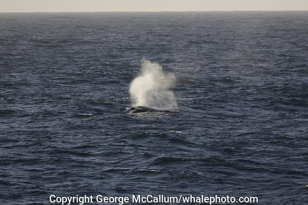 Fin whale, Balaenoptera physalus, surfacing, South Orkney Islands, Scotia sea Southern Ocean, Antarctica